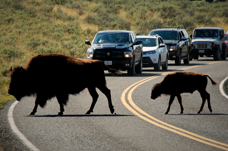 DNXB dongnanxibei Buffalo Crossing Road Lamar Valley Yellowstone National Park Wyoming