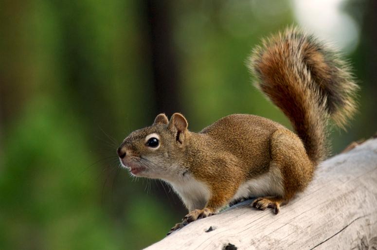DNXB Squirrel Norris Geyser Basin dongnanxibei