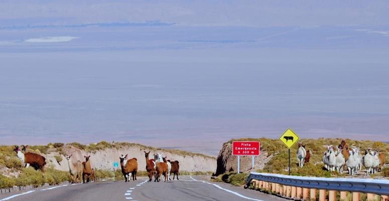 Alpaca Llama crossing road Chile San Pedro Atacama highway desert Nikon D90 travel dongnanxibei DNXB