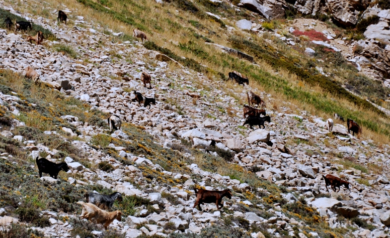 Goat herd Maipo Canyon Valley Enbalse el Yeso greatest of all time Chile Santiago DNXB dongnanxibei D90