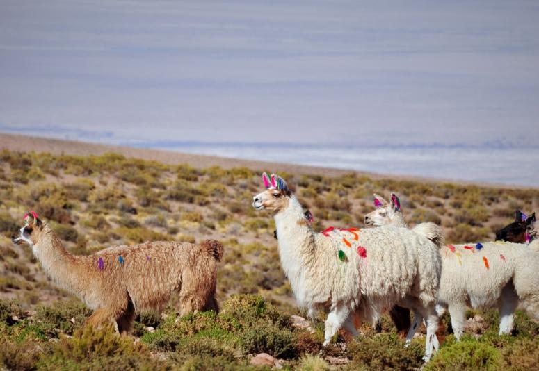 Llamas colorful alpaca Salar de Tara San Pedro Atacama Desert Herd DNXB Dongnanxibei Chile Travel Nikon D90