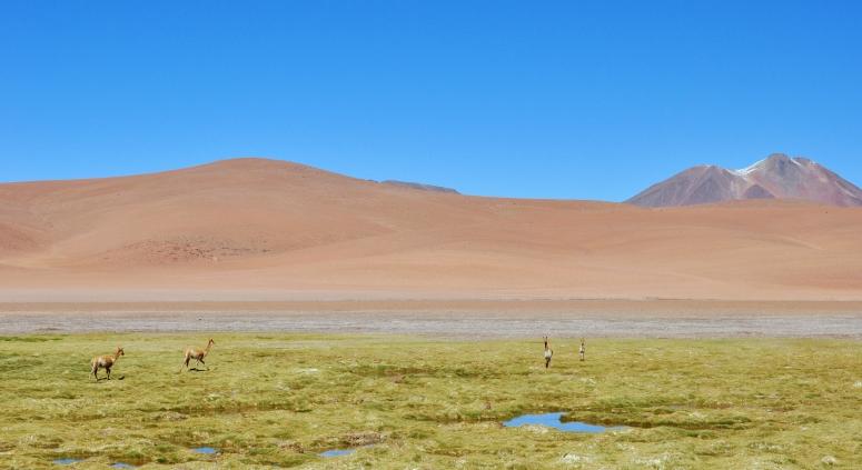 Vicuna Chile Andes Altiplano Atacama San Pedro DNXB dongnanxibei Nikon D90 Oasis Desert