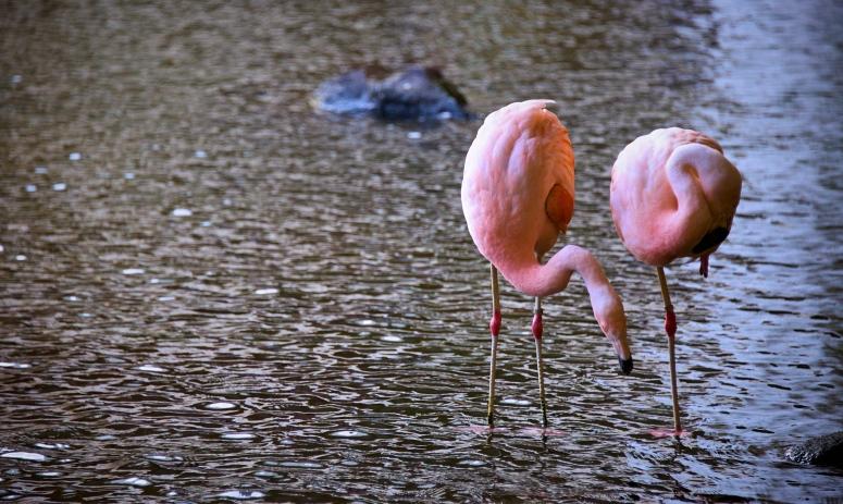 flamingoswestin