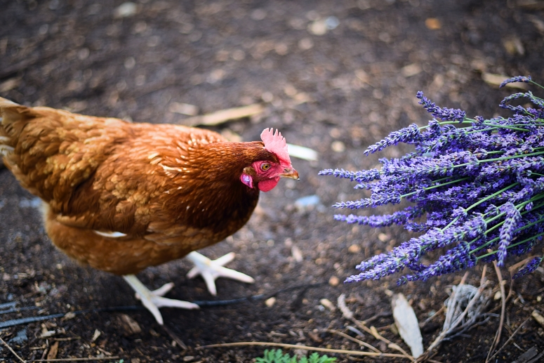 Chicken Sniffing Lavender By The Bay North Fork Long Island Nikon Photography DNXB dongnanxibei