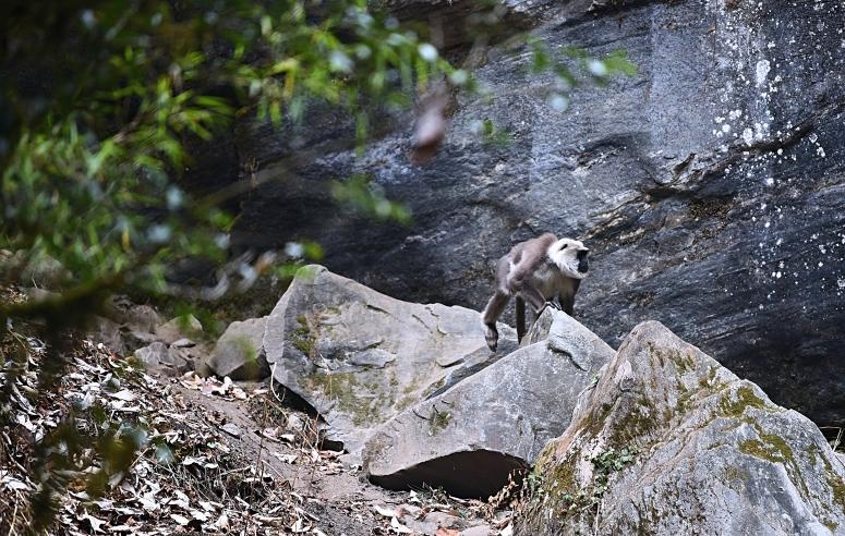Langur Monkey ABC Trek Nepal DNXB dongnanxibei Annapurna Base Camp