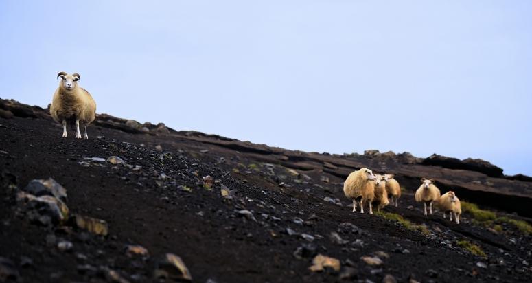 Iceland Wild Sheep Mountains DNXB dongnanxibei