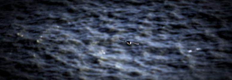 Only Puffin Flying Dyrhólaey Iceland DNXB dongnanxibei