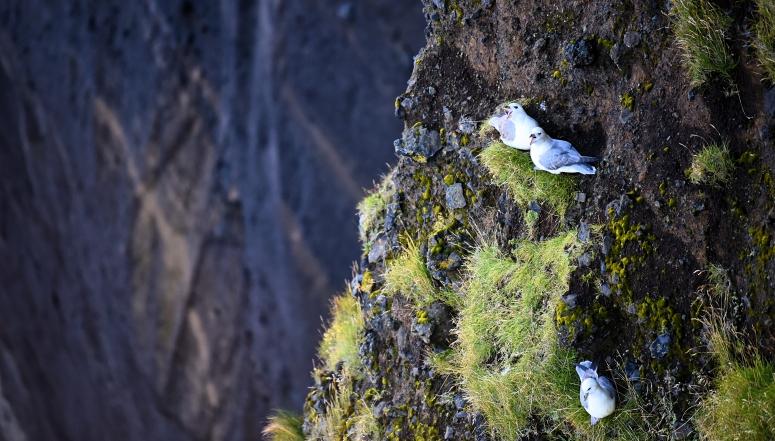 Seagulls Dyrholaey Cliff Iceland Nest DNXB dongnanxibei